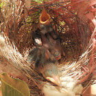 Little Friarbird (chicks)
