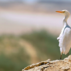 by Sherif Nashaat - Animals Birds