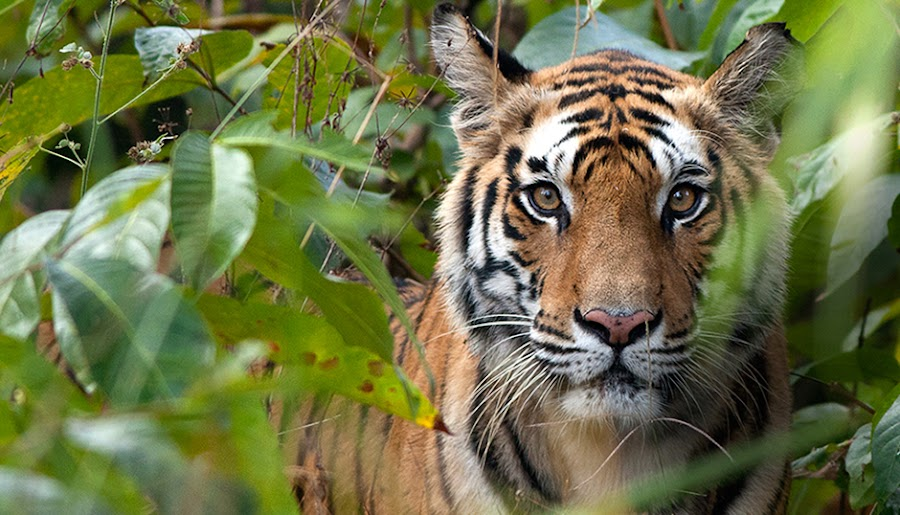 If Looks Could Kill by Jasminder Oberoi - Animals Other Mammals ( wild, tiger, nature, wildlife, eyes, animal )