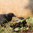 Unicolored Blackbird