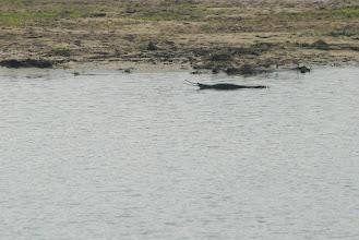 Photo: Chitwan crocodile ...