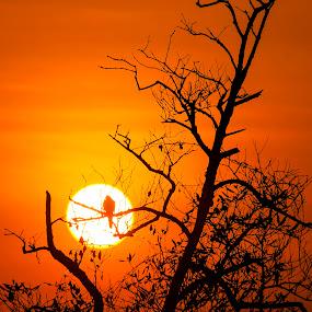 dry twigs by Rusman Budi Prasetyo - Landscapes Sunsets & Sunrises ( bird, wildlife, siluet, sunrise, landscape,  )