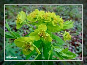 Photo: Euphorbe des marais, Euphorbia palustris