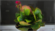 Photo: Planta zambetului (Kalanchoe) - La bloc, din comert - 2017.06.08  Album comun ( familia Crassulaceae) - http://ana-maria-catalina.blogspot.ro/…/sedum-iarba-grasa-s…