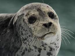 Seals   Species   WWF