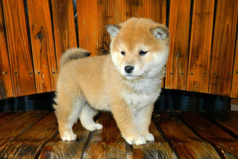 Shiba Inu price range. How much does a Shiba Inu puppy cost?