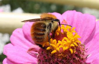 Photo: Bombus pascuorum  Hymenoptera > Apidae