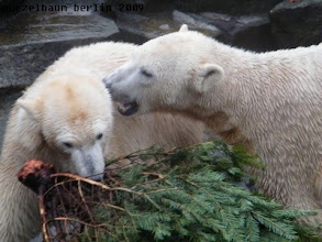 Photo: Gianna zeigt Interesse an der Tanne - Knut freut es :-)