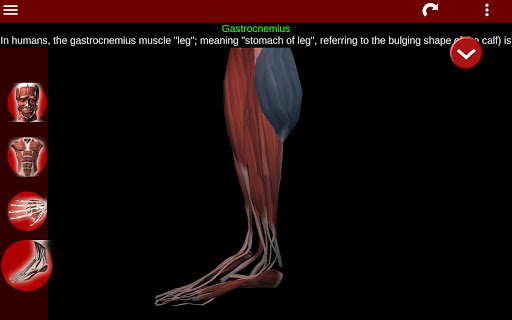 Muscular System 3D (anatomy) 2.0.8 Screenshots 12