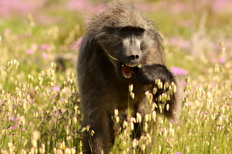 The killing of baboons has sparked growing outrage among residents in Cape Town.