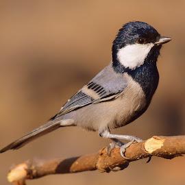 Cinereous tit by Ashay Kakde - Animals Birds ( nature up close, cinereous tit, brown background, birds, wildlife )