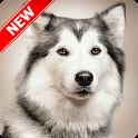 Husky Wallpaper icon