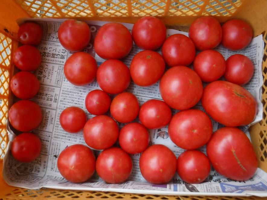 世界一トマト 左の一列はサンティオと交雑したよう。今年の世界一トマトもめちゃうまです。