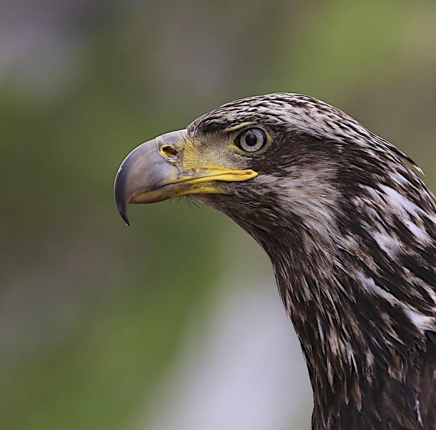 Eagle Eye by Capt Jack - Animals Birds ( aleutians, waterfall, alaska, islands, bering sea )