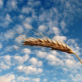 Wheat by Milan Milosevic ヅ - Nature Up Close Other plants ( clouds, wheat, sky, flora, blue, plants )