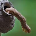 Erebid moth caterpillar