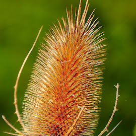 Chaton sec by Gérard CHATENET - Nature Up Close Other plants