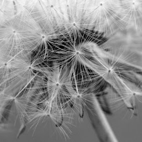 DANDY CLOCK by Karen Tucker - Nature Up Close Other plants ( macro, dandelion, macro photography, black and white, dandelion clock, close up )