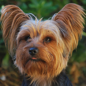 Frits by Lana Kirstein - Animals - Dogs Portraits ( oe hare verskillende kleure gesig ore,  )