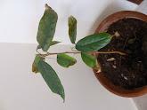 Photo: Week 12 - 23 cm / leaf 8.5 cm - new leaves 6 cm