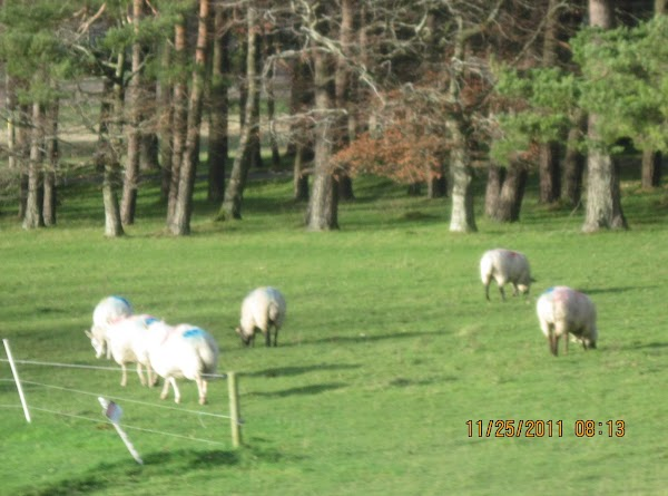 More sheep...the fence is to keep the sheep off the golf course!