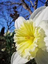 Photo: White and yellow ruffle daffodil at Wegerzyn Gardens MetroPark in Dayton, Ohio.