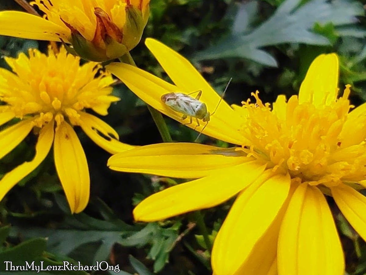 True Bug (Hemiptera)