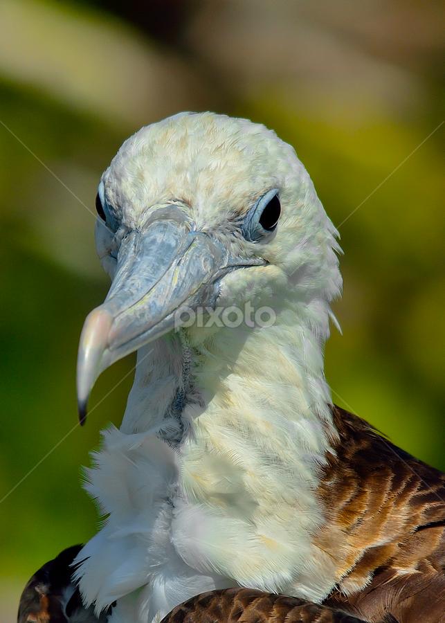 Frigate portrait by Alan Potter - Animals Birds