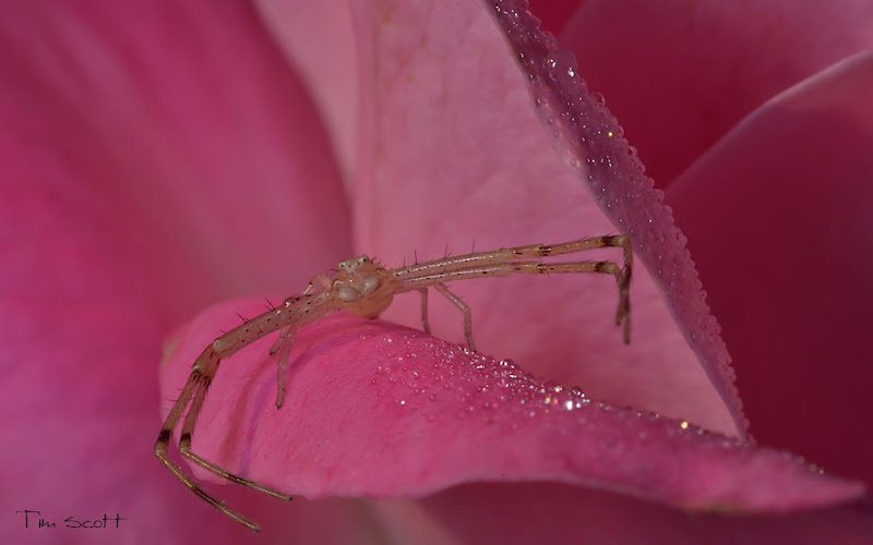 Photo: Crab Spider, 5 shot stack CombineZP