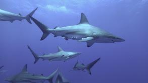 Cannibal Shark thumbnail