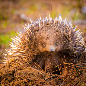 Short-beaked echidna by Brent McKee - Animals Other Mammals ( fuji x, echidna, australian echidna, belanglo state forest, mammal, spiny ant eater )