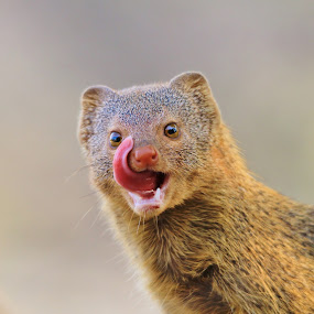 Mongoose, African Wildlife - Fun in Nature by Dries Alberts - Animals Other ( freedom, yellow, mongoose background, backdrop, predator, free, inspiration, nature, mongoose, wonder, joke, pink, humor, incisor, markings, wild, orange, tongue, instinct, majestic, white, symbolic, fun, teeth, mammal, magnificent, outdoors, slender mongoose, adorable, senses, captivate, scavenger background, scavenger, unique, colorful, splendor, screensaver, wildlife, cute, hilarious, life, gorgeous, africa, inspire, mesmerize, classic, animal, beautiful, funny, tawny, fantastic, wilderness, pattern, color, background, brown )