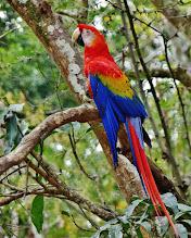 Photo: Hellroter Ara, auch Arakanga genannt (Ara macao, Scarlet Macaw) Die Fotos der Arakangas entstanden in der archäologischen Mayastätte Copán in Honduras, wo man ein Wiederansiedlungsprojekt durchführt. Die Macaws spielten in der Mythologie der Mayas eine große Rolle.