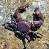 Flattop crab