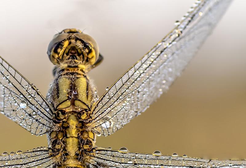 Dettaglio di libellula di stefytina