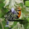 Toltec Scoliid Wasp
