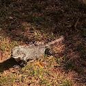 Iguana rayada