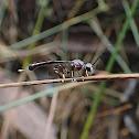 Gasteruptid wasp