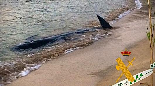 Varamiento en la playa de Rodalquilar: muere un calderón común