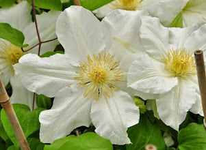 Photo: Clematis 'Toki' closeup 2