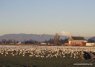 Photo: Snow Geese, Fir Island, Skagit Valley, Washington