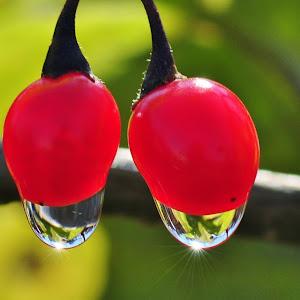 Red Poisonberries.jpg