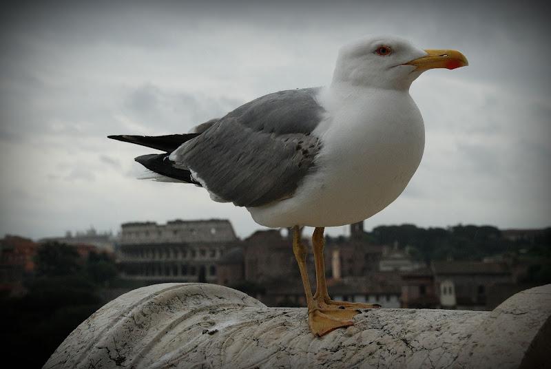 Sua maestà er Colosseo? no, er gabbiano! di marcellopallini