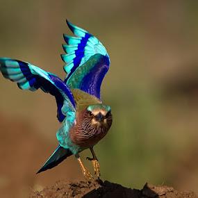 Roller by Jineesh Mallishery - Animals Birds ( jineesh, wildlife, photography, indian roller )