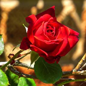 Rose by Simon Alun Hark - Flowers Single Flower ( rose, red, green, leaves, garden,  )