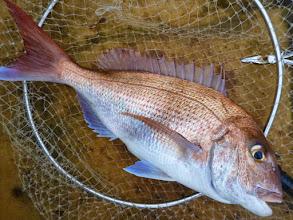 Photo: これまた、いいサイズの真鯛!