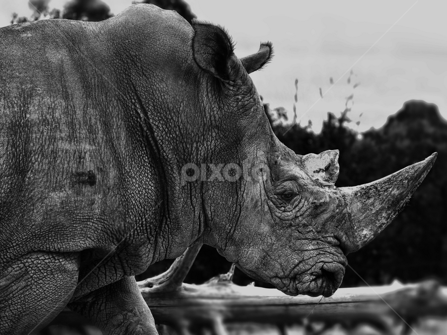 Walking by Cristobal Garciaferro Rubio - Animals Other Mammals ( walking, texture, b/n, rhino, mammal )
