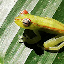 Red webbed-Tree frog ( juvenile)