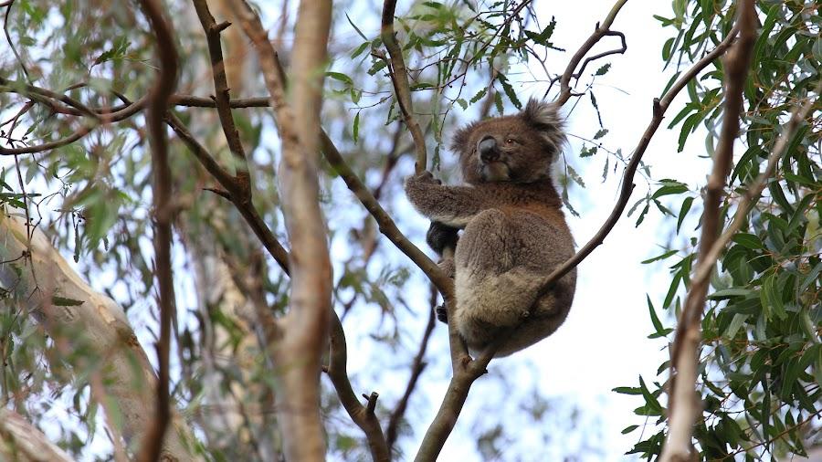 Koala awoke from sleep by Xinyuan Chen - Animals Other Mammals ( koala )
