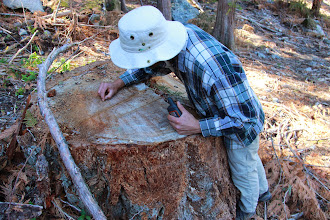 Photo: Wilderness Committee mapper, Geoff Senichenko counts the yearly growth rings on a stump left over from a 200 year-old Dougals fir tree. This is a recently logged area near Lillooet Lake, within a spotted owl wildlife habitat area.